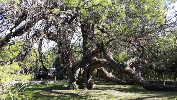 Oldest Trees
