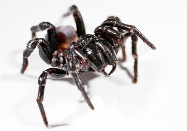 Sydney funnel web - Dangerous Spiders