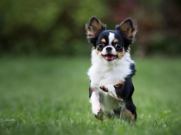 Smallest Dog Breeds Chihuahuas