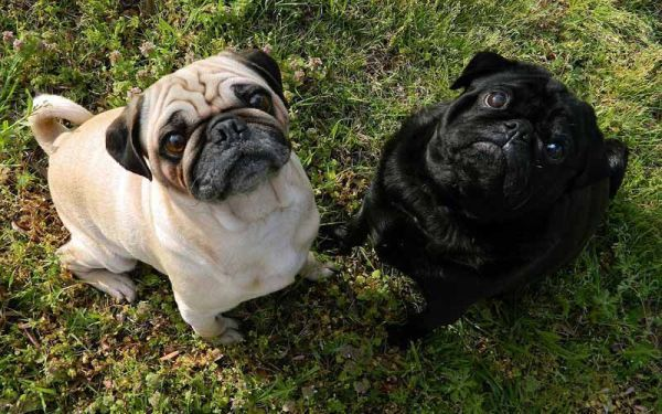 Smallest Dog Breeds Pug