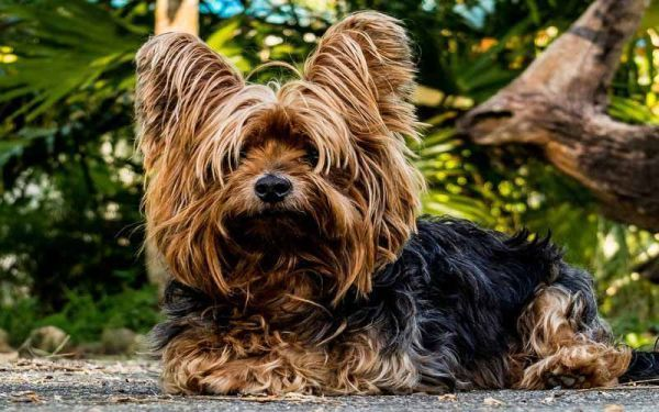 Smallest Dog Breeds Yorkshire Terrier