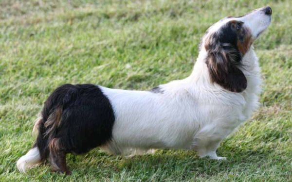 Smallest Dog Breeds Dachshunds