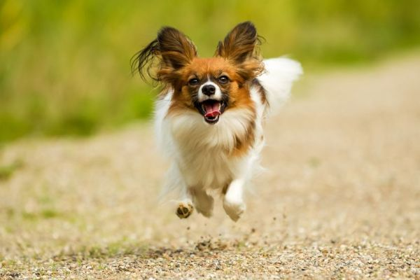 Smallest Dog Breeds Papillon