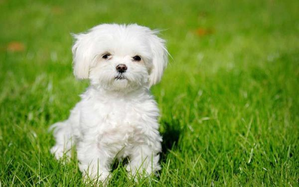 Smallest Dog Breeds Maltese