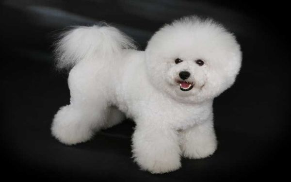Smallest Dog Breeds Bichon Frise