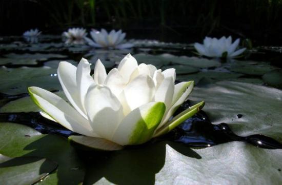 Rare Flower White Lotus