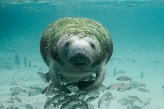 Slowest Animals - Manatee