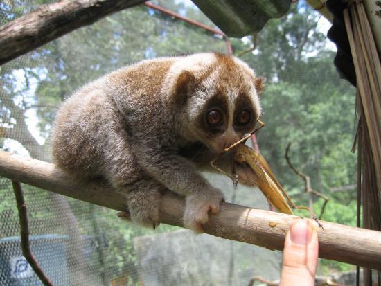 Slowest Animals - Loris