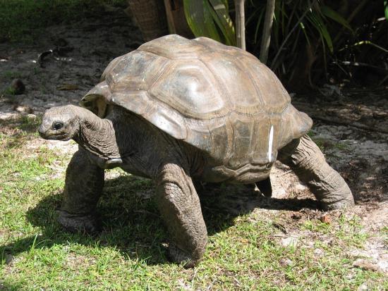 Slowest Animals - Giant Tortoise