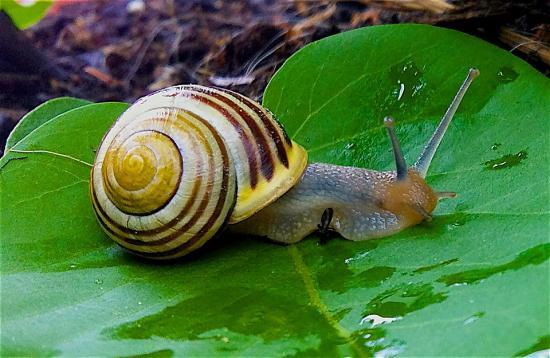Slowest Animals - Garden Snail