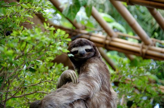Slowest Animals - Three-toed Sloth