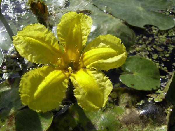 Yellow Floating Heart - Aquatic Flowers