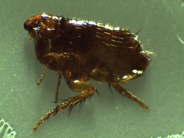 Fleas Killer Insects
