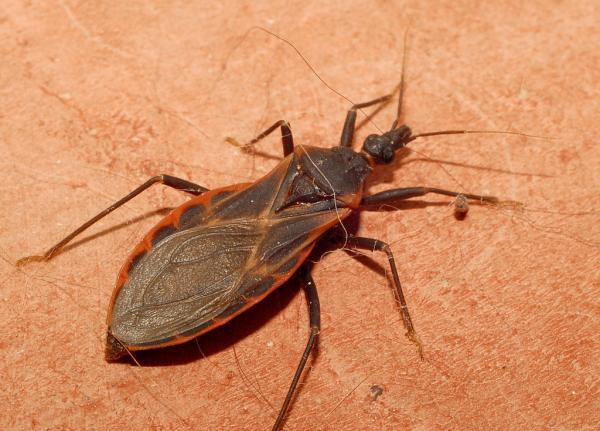 Kissing Bugs Killer Insects
