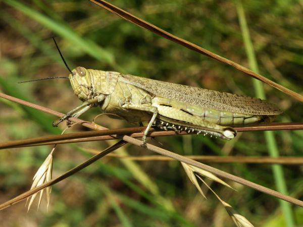Locusts Killer Insects