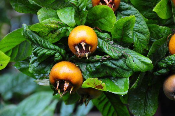 Medlar - Rare Fruits