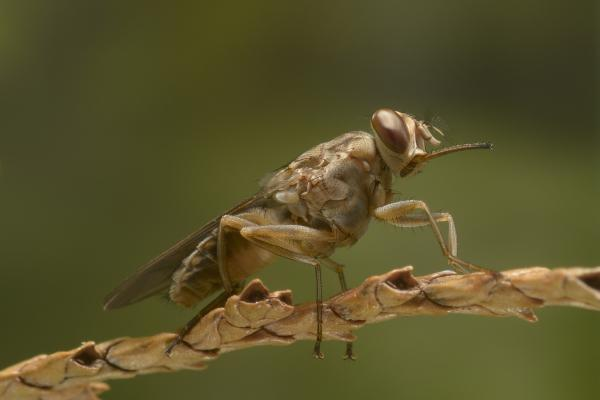 Tsetse Fly Killer Insects