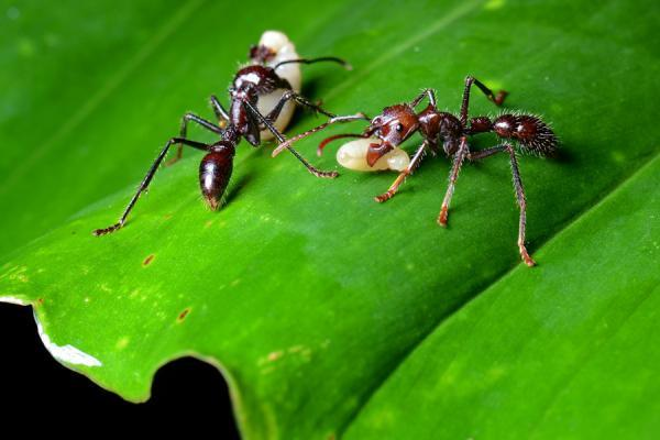 Bullet Ant Killer Insects