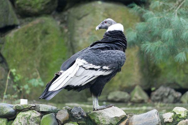 Andean Condor Largest Birds