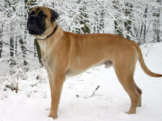 Bullmastiff Dangerous Dog Breeds