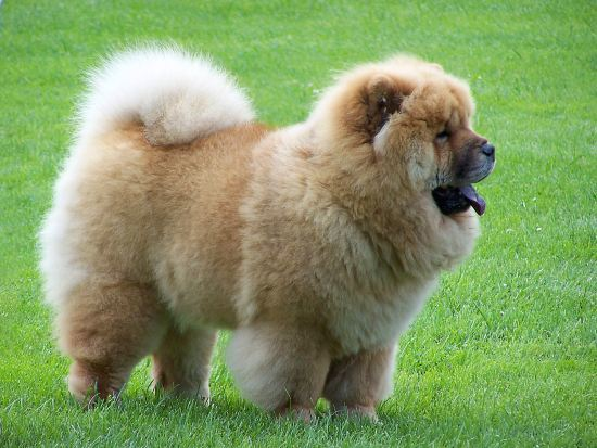 Chow Chow Dangerous Dog Breeds