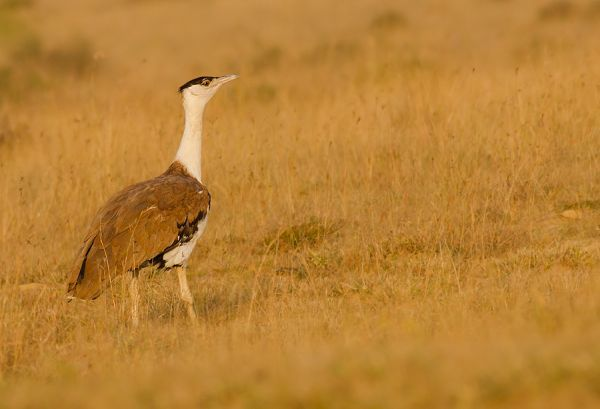 Great Bustard Largest Birds