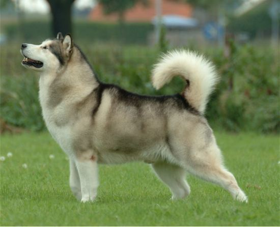 Malamute Dangerous Dog Breeds