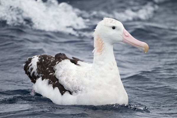 Wandering Albatross Largest Birds