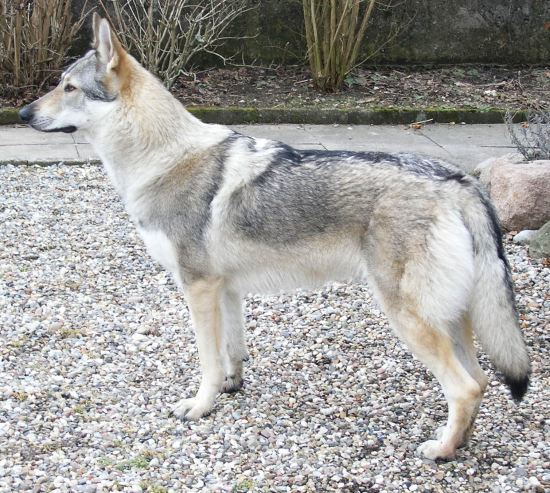 Wolf Hybrid Dangerous Dog Breeds