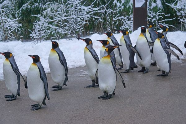King Penguin Largest Birds