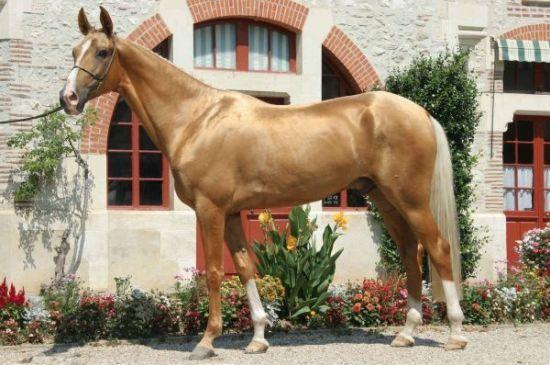 Akhal-Teke Beautiful Horses