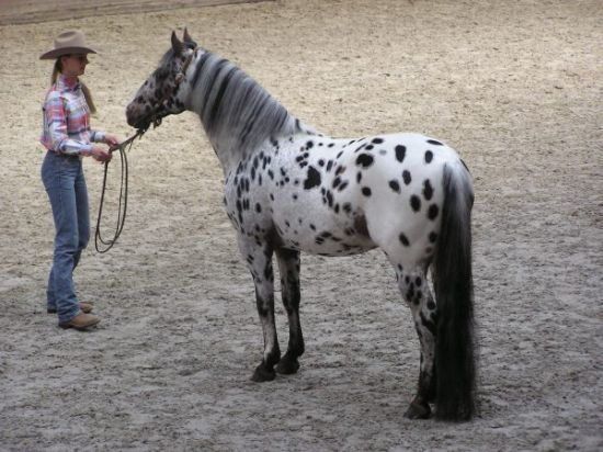 Appaloosa Beautiful Horses