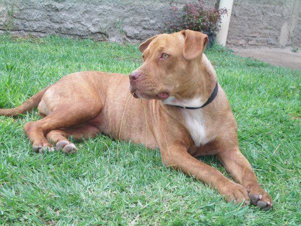 American Pit Bull Terrier Police Dog Breeds