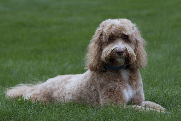 Aussiedoodle Designer Dog Breeds