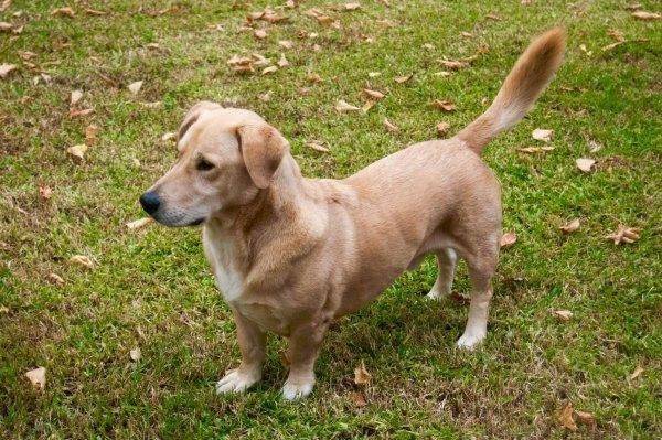 Bassador Designer Dog Breeds