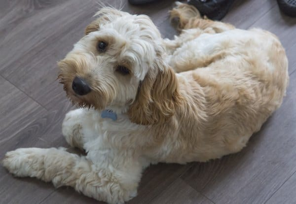 Cockapoo Designer Dog Breeds