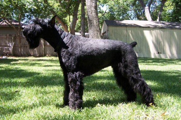 Giant Schnauzer Police Dog Breeds