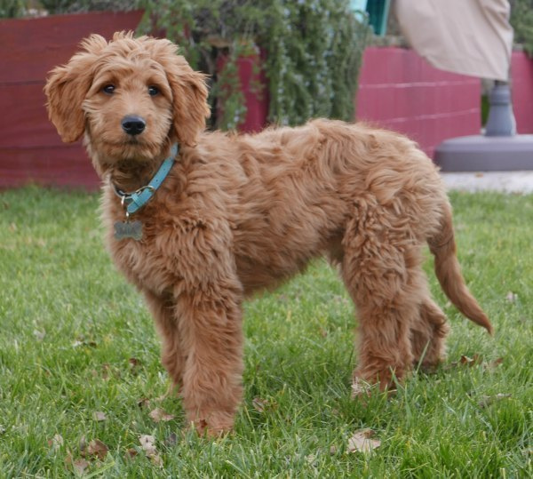 Goldendoodle Designer Dog Breeds
