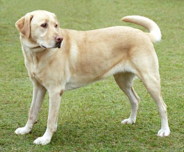 Labrador Retriever Police Dog Breeds