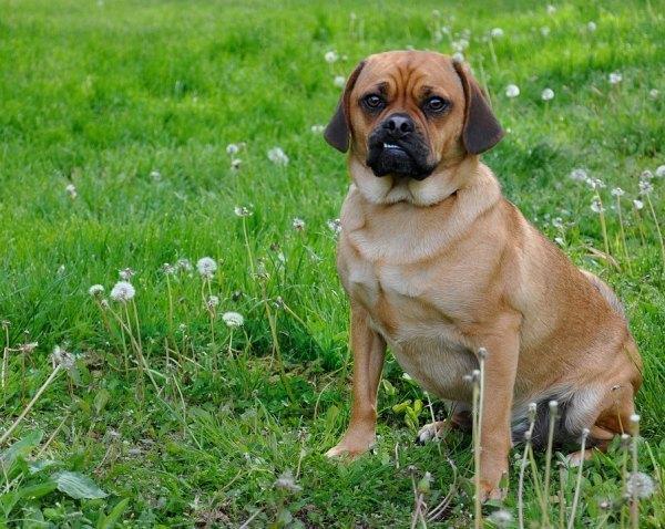 Puggle Designer Dog Breeds