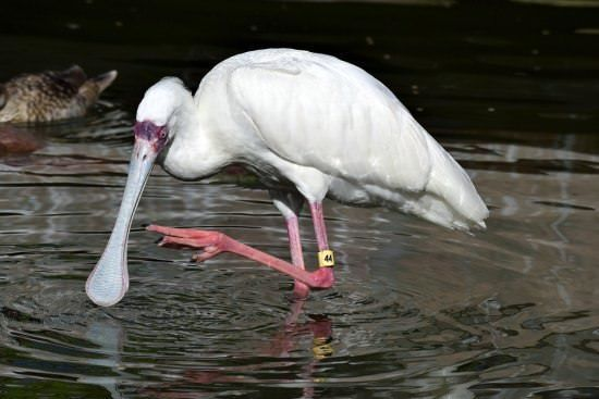 Spoonbill Different Types of Birds