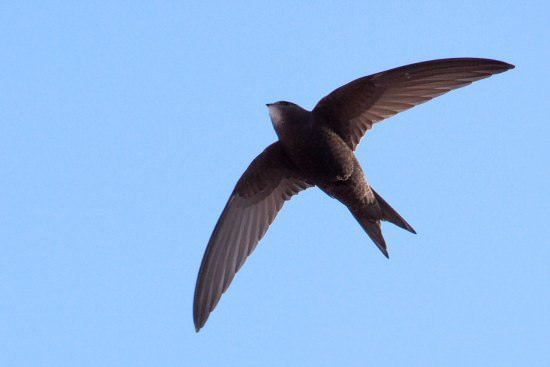 Swift Different Types of Birds