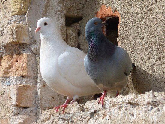 Doves and Pigeons Different Types of Birds