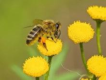 Honey Bee Facts