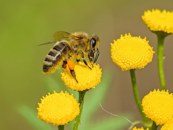 Amazing Honey Bee Facts