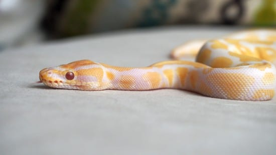 Albino Ball Python Beautiful Snakes