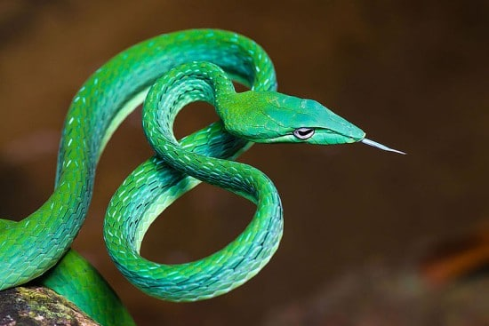 Asian Vine Snake Beautiful Snakes