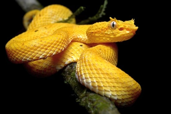 Eyelash Viper Beautiful Snakes
