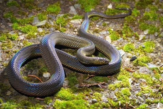 Formosan odd-scaled snake Beautiful Snakes