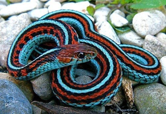 San Francisco Garter Snake Beautiful Snakes